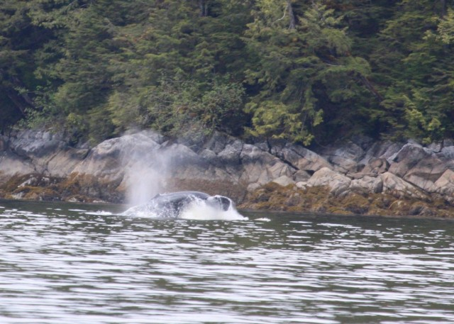 Humpback Breakfast Time; Photo by Larry Rogers