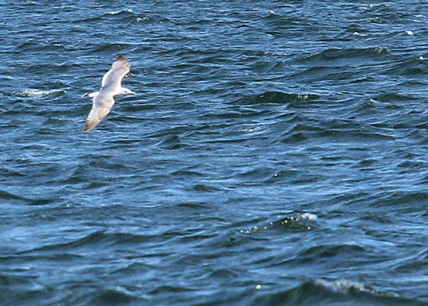 Seagull in Vast Blue Sea